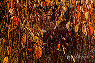 Red osier dogwood leaves in autumn color near Whitefish, Montana, USA