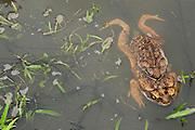 Cane Toad (Rhinella marina)<br /> Rain Forest<br /> Iwokrama Reserve<br /> GUYANA<br /> South America