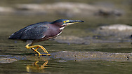 Green Heron stalking his prey in the water