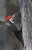 Misc. Woodpeckers