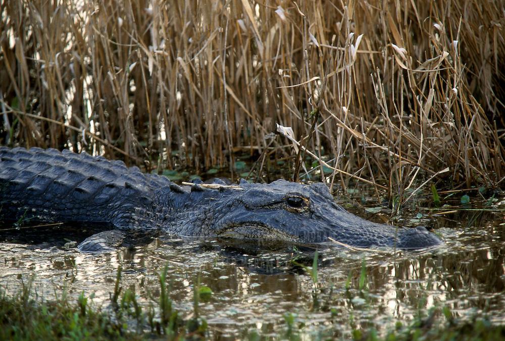 American alligator, Everglades National Park, Florida, USA.