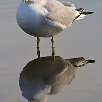 Portrait of an adult ring-billed gull (Larus delawarensis) in nonbreeding plumage and its reflection near the edge of the Choptank River, Cambridge, Maryland.
