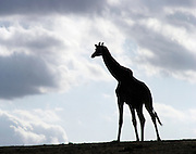 Kenya, Samburu National Reserve, Kenya, silhouette of a Reticulated Giraffe, Giraffa camelopardalis reticulata, October 2006