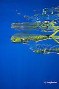 dorado, mahi-mahi, mahimahi, mahi mahi, or dolphin fish, Coryphaena hippurus, swimming offshore of Kaiwi Point, Kona, Hawaii Island ( the Big Island ), U.S.A. ( Central Pacific Ocean )