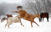 Horses play in the snow at Horseshoe Springs farm on Highway 151. Tuesday, January 17, 2012. The Reporter photo by Patrick Flood.