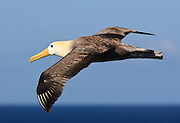 A Waved Albatross soars near the island of Espanola in the Galapagos.