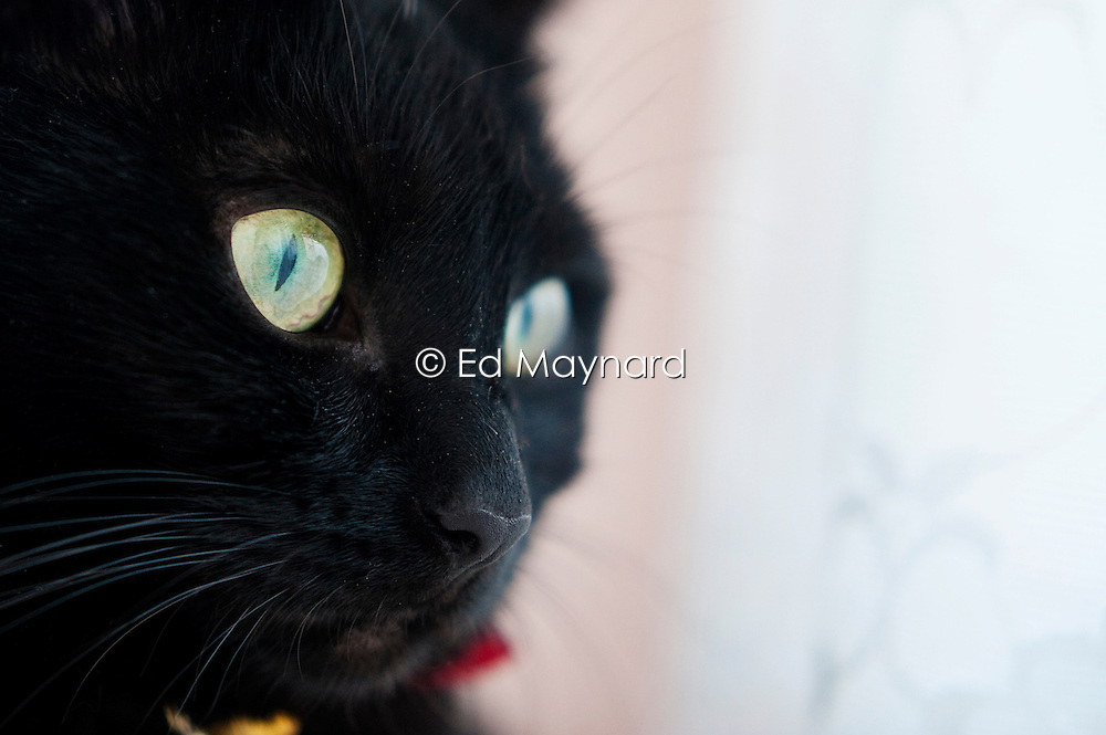 Close up portrait of a young domestic black cat, England, UK.