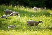 Sheep and lambs in a meadow in The Cotswolds, Gloucestershire