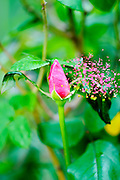 Exploding Red garden rose bud on a lush green background
