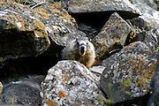USA, Idaho, Twin Falls, Shoshone Falls, A Hoary Marmot (Marmota caligata)