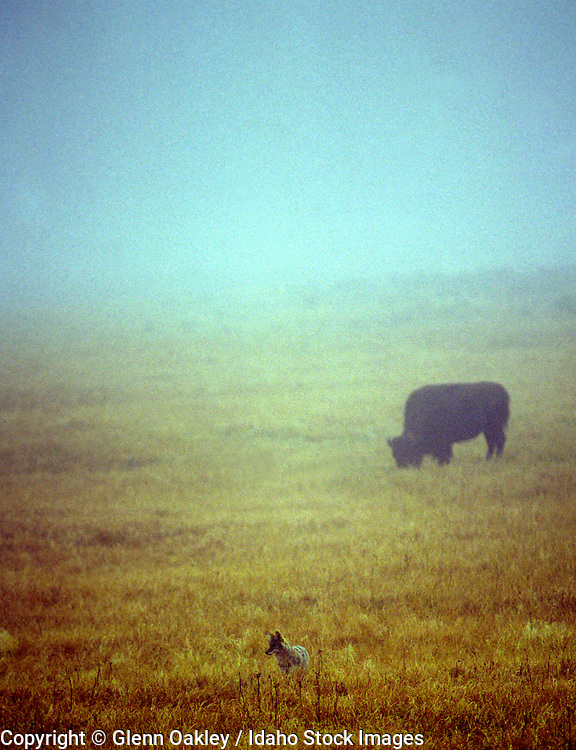 Bison and coyote in fog, Hayden Valley, Yellowstone National Park, Wyoming