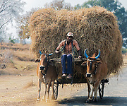 Farmer carrying hey, Maharashtra, India.