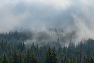 Fog moves between pine trees near East Pryor Mountain.