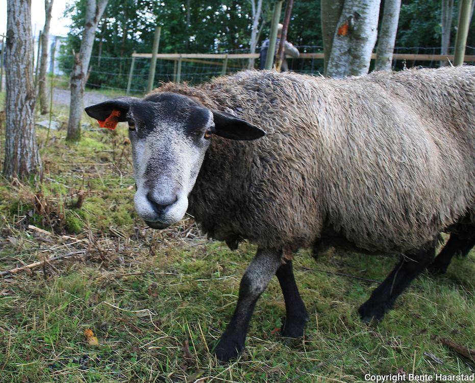 Agrisjå, landbruksmessa i Stjørdal. Grå trøndersau. Foto: Bente Haarstad Norwegian sheeps, many of them are endangered spieses. Norsk sau. Grå trøndersau. Antakeligvis en krysning (fra sent 1800-tall) mellom gamle norske raser og tautersau. Sistnevnte døde ut på 1970-tallet og var etterkommer etter munkenes merinosauer ved Tautra kloster. Raselag siden 2008.