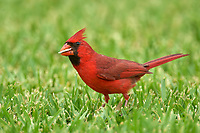 Male Northern Cardinal (Cardinalis cardinalis) searching for seed fallen from feeder, Wellington, Florida, USA