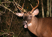 A six point Jekyll Island white tail buck eating acorns at the edge of a palmetto swamp.