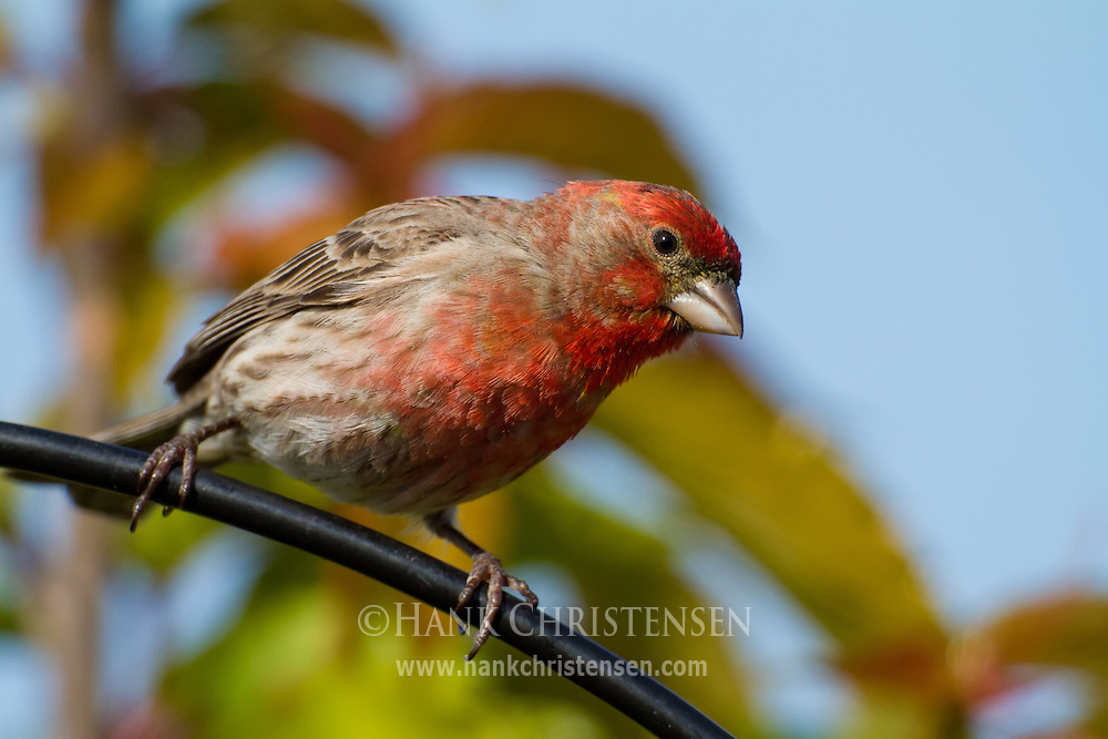 A house finch perches on the arm of a bird feeder stand
