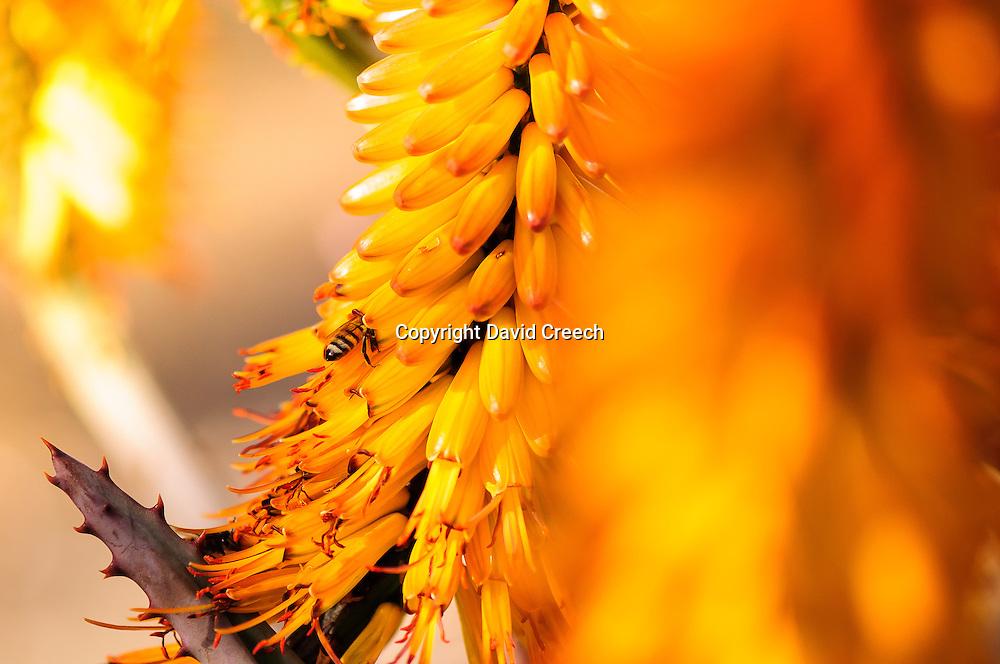 Spring Aloe blooms in Arizona