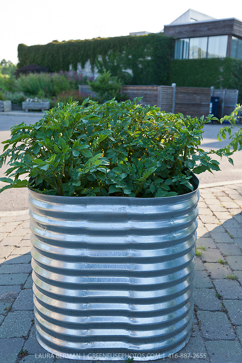 Tomatoes growing in raised, corrugated galvanized planters in a container garden.