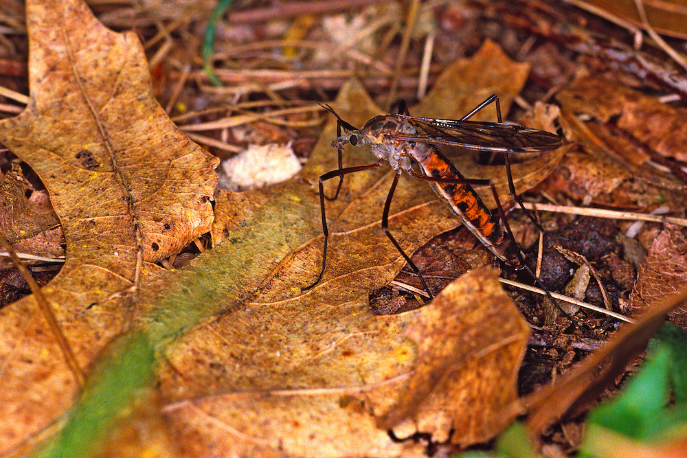 Crane Fly laying eggs, Tipula spp.