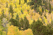 Autumn, quaking aspen (Populus tremuloides) and pines, fall, Green Creek Area, Toiyabe National Forest, California
