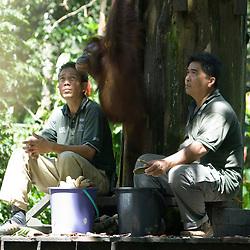 Phase 2 Alpha 2: Batu Puteh Eco Lodge building project. Participants visit Sepilok Orangutan Sanctuary. Sabah, Malaysian Borneo, Spring 2008