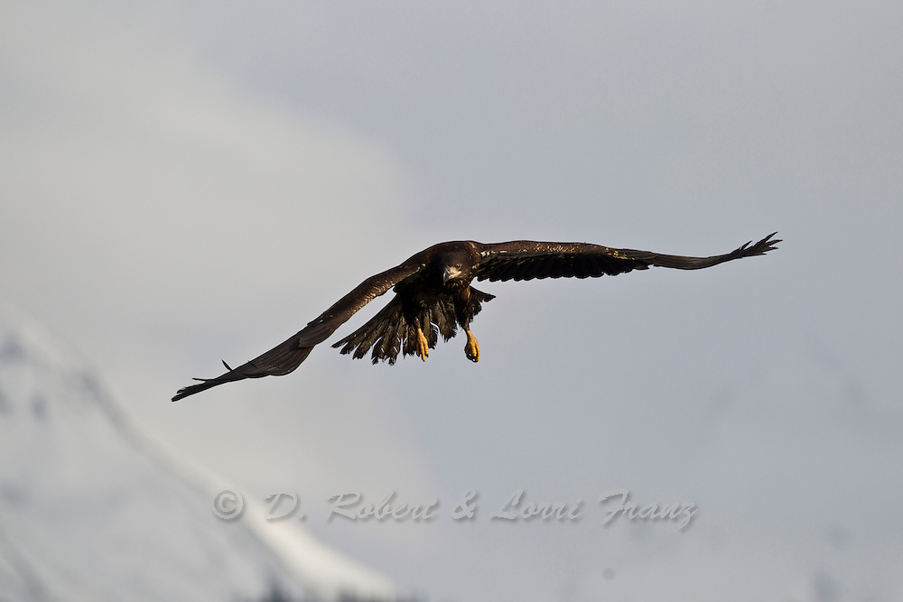 Immature bald eagle in Alaska