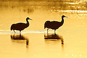 Two sandhill cranes (Grus canadensis) are rendered in silhouette as they walk across a pond in Bosque del Apache, New Mexico, at sunrise.