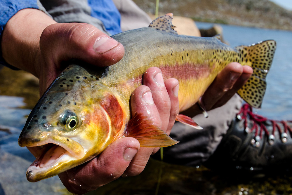 Backcountry golden trout are hard to reach and can be picky once you arrive, but it's so worth it.