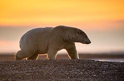 Polar bear (ursus maritimus) in Kaktovik, Alaska