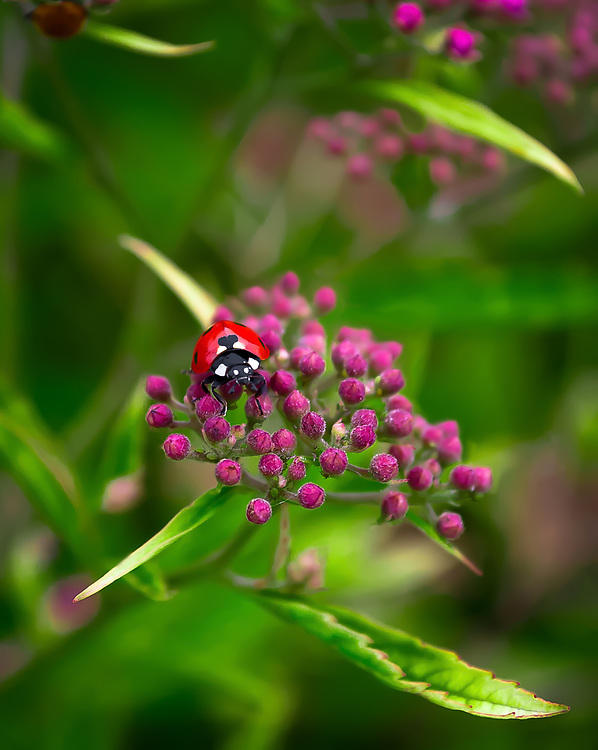 This is a simple macro picture of a ladybug.<br />