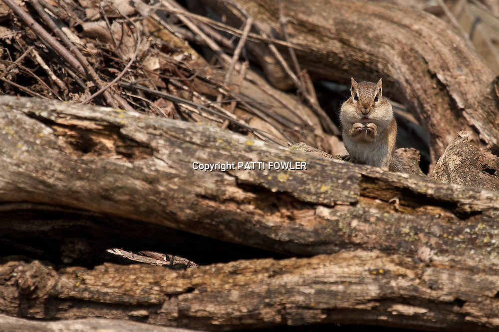 chipmunk in woodpile with full cheeks