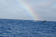 Humpback Whale, Megaptera novaeangliae,Whale and Rainbow, Maui Hawaii