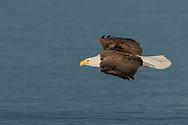 Bald eagle in gliding flight over ocean water, © 2005 David A. Ponton