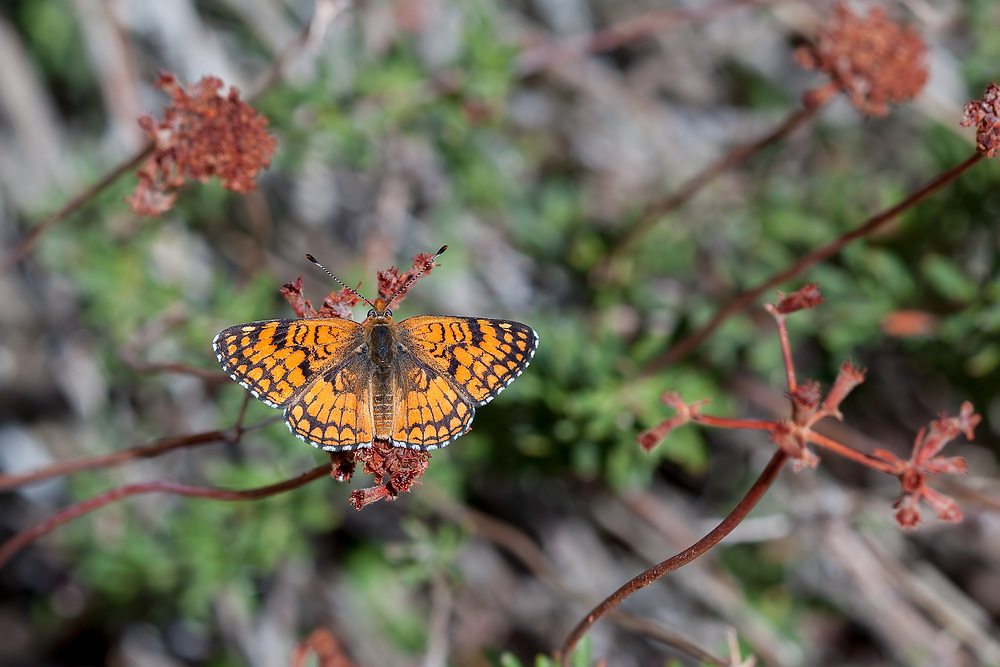 Chlosyne acastus neumoegeni (Sagebrush Checkerspot) at Bob's Gap, Los Angeles Co, CA, USA, on 08-Apr-18
