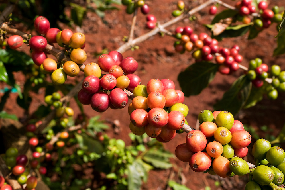 Africa, Kenya, Ruira, Detail of ripe Arabica coffee beans growing on Socfinaf's Oakland Estates coffee plantation