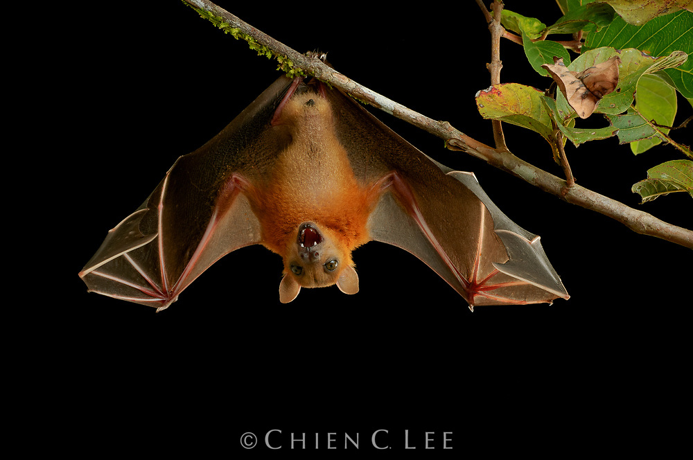 Fruit and nectar bats (family Pteropodidae) play an important role in the dispersal and pollination of many rainforest trees including figs, bananas, and durian. Over 17 species occur in Borneo, including the widespread Short-nosed Fruit Bat (Cynopterus brachyotis, pictured here). Unlike insectivorous bats, most Pteropodids do not echolocate and instead rely on their large eyes and keen sense of smell for nocturnal navigation. Sarawak, Malaysia.