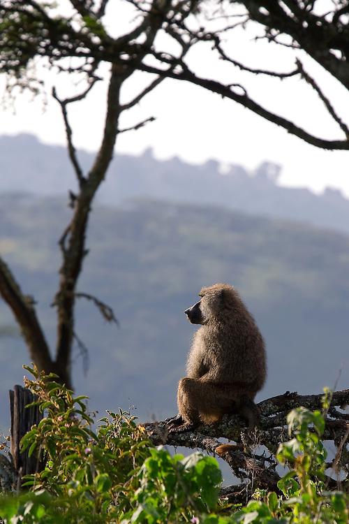 (Papio anubis)  Ngorongoro Conservation Area, Tanzania