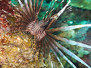A lionfish ( Pterois volitans ) displays its poisonous spines on a reef near roatan, Honduras.