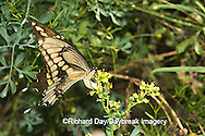 03017-008.04 Giant Swallowtail (Papilio cresphontes) female laying eggs on Common Rue (Ruta graveolens) Marion Co.  IL