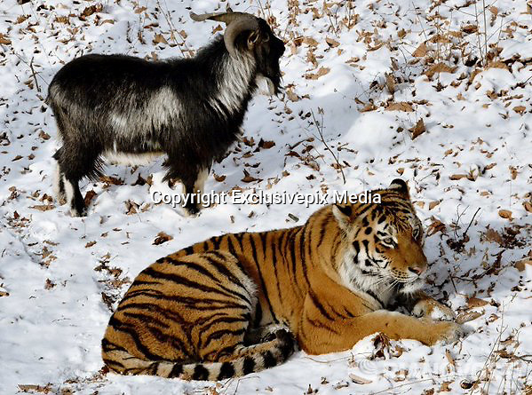 "Tiger and Goat Are best friends in Primary Zoo<br /> <br /> An interesting story is unfolding in Primorye safari park in Russia and thousands of Internet users are watching it. It started with a regular meal that was delivered to a Siberian tiger kept in a park. His name is Amur. So one day Amur got a meal - he often gets live meals - either small rabbits or some other smaller animals, but this time park workers wanted to treat him with a live goat. However, instead of eating it Amur became best friends with an animal that was supposed to become his dinner.<br /> <br /> Tigers of this safari park twice a week are treated with live food. Live literary - the one they can hunt down like they do in wilderness. Amur, the tiger, knows how to hunt down goats and rabbits however he preferred not to kill this particular goat because he was very brave.<br /> <br /> More than that the zoo workers tell the story that the goat evicted the tiger from his ""bedroom"" and occupied it. Now the tiger sleeps outside and the goat lives inside of the tigers ex house.<br /> <br /> Now they go for a walk together and even get fed together. The tiger never mixes up his friend with his other food he eats and always eats aside from the goat.<br /> <br /> Thousands of Russian people watch for the updates now. They are eager to see each day what's going on with this unusual pair. So the zoo workers post updates daily now. For example now they noticed that the tiger protects the goat from people. If people approach the goat, the tiger hisses and acts aggressively. Zoo workers say that they hadn't noticed such behavior of a tiger before.<br /> <br /> Also the workers say that each night the goat and the tiger smell each other before going to sleep.<br /> <br /> Then each morning they both go to the big park outside for a walk. At first the tiger walks out of their place and then he waits for the goat to join him. Then they go to the park together.The zoo workers say the animals are always spending their time together.<br /> <br /> Also the zoo workers are worried about the following matte"