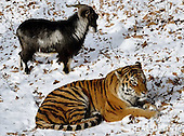 Tiger and Goat are best Friends