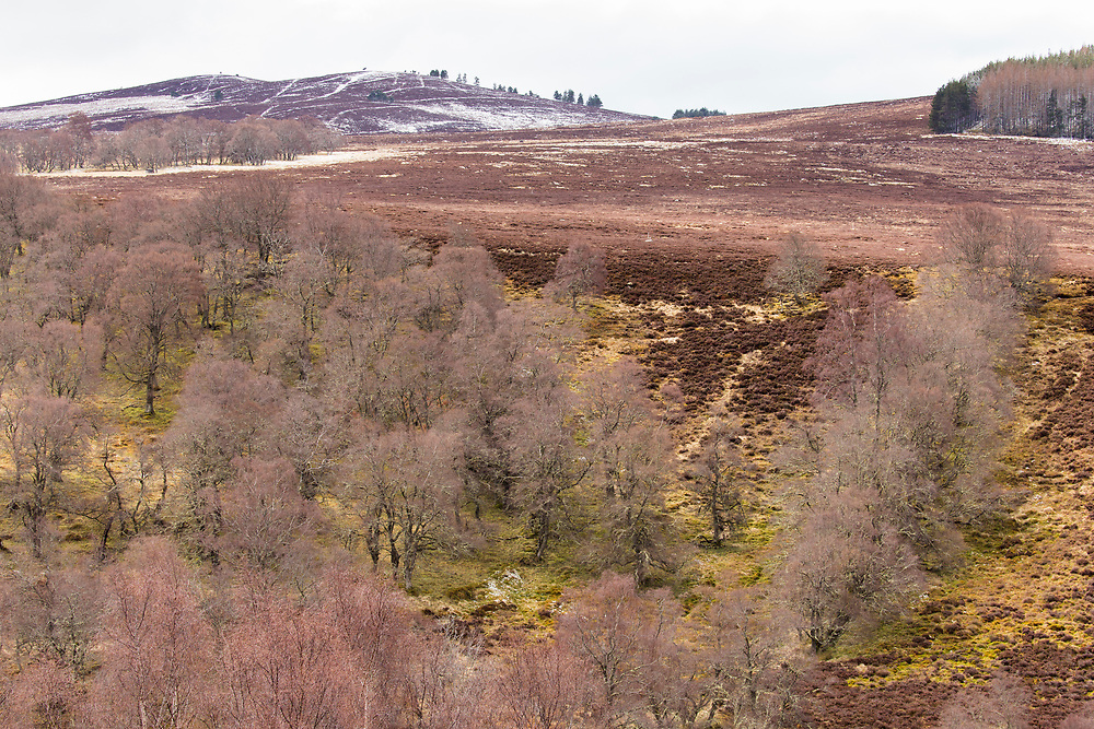 Silver Birch (Betula pendula) trees in late winter growing on edge of heather moorland on upland estate, Scotland