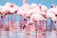 Lesser Flamingoes along the shoreline of Lake Nakuru, Kenya