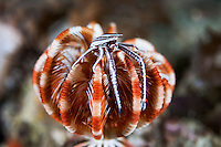 A Squat Lobster perches atop a closed Crinoid (Feather Star), their exclusive habitat.<br /> <br /> Shot in Indonesia