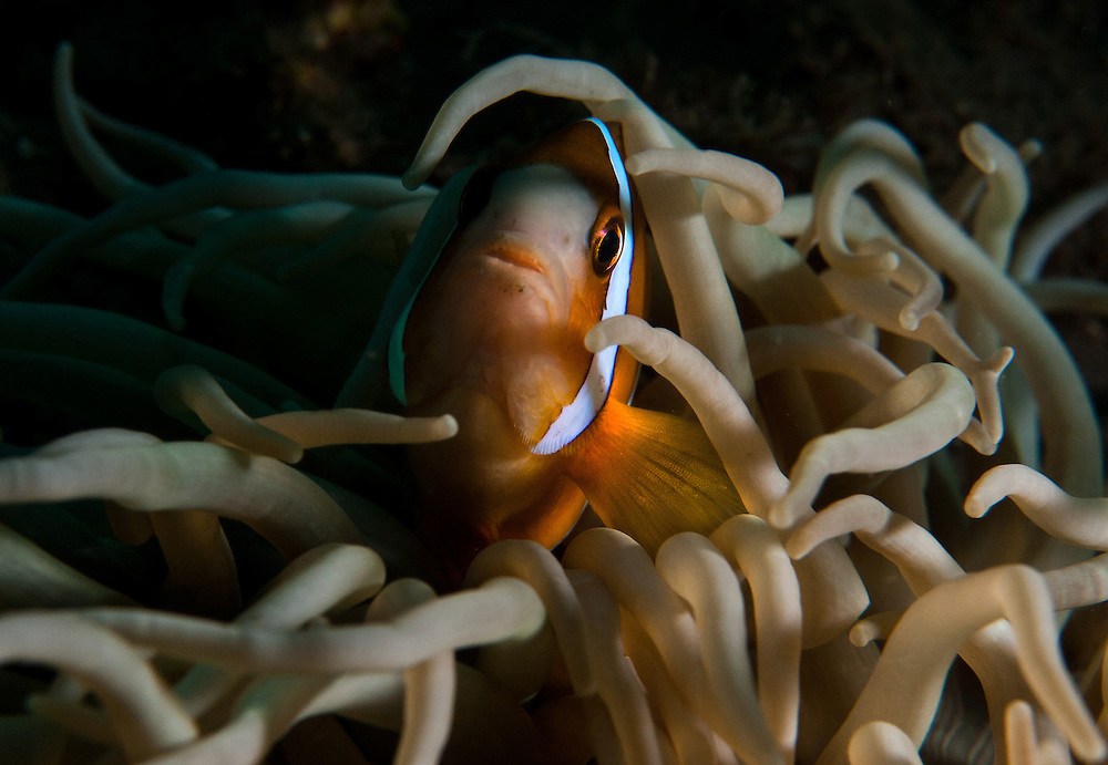 An Anemone fish hides out. In the Philippines, muck divers head straight to Dauin to begin the hunt. It is considered one of the premier muck diving locations on the planet. On a bad day at Dauin, you can spot more rare animals than a decade out on the reef...