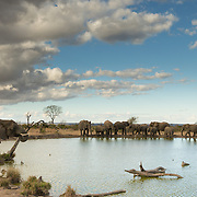 African Elephants Drinking at the Waterhole