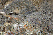 India - Friday, Dec 01 2006: A male snow leopard (Uncia uncia) lies barely visible on rocks above a blue sheep kill (not visible) in Hemis National Park. (Photo by Peter Horrell / http://www.peterhorrell.com)