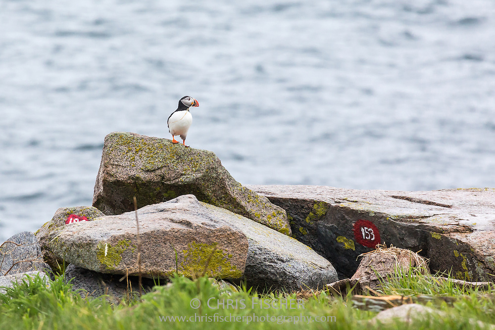 An Atlantic Puffin (Fratercula arctica) with dead grass in its beak on Seal Island, Maine. Puffins were successfully reintroduced to the island through Audubon's Project Puffin. Nesting burrows are numbered to aid researchers with their observations.