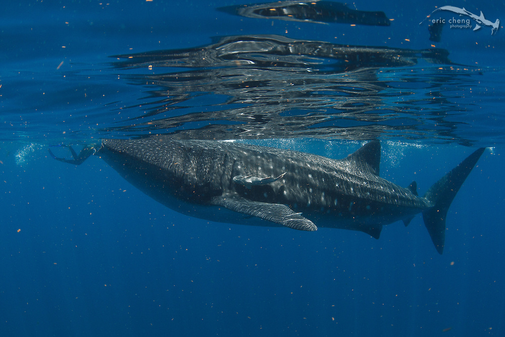 Whale shark eats person! Just kidding. Whale shark (Rhincodon typus) at a feeding aggregation off of Isla Mujeres, Mexico)